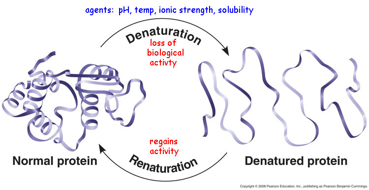 major changes in the secondary tertiary and quaternary structures without cleavage of backbone peptide bonds are regarded as denaturation